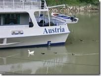 ドナウ川を行く白鳥の一家